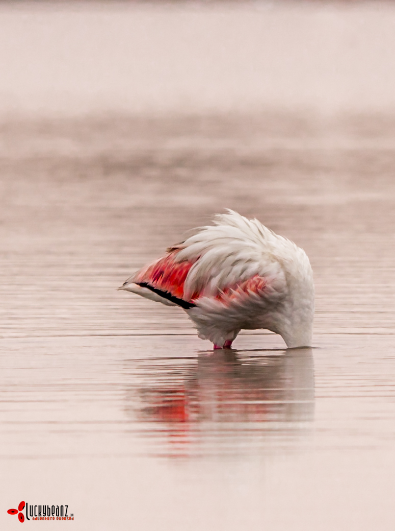 On the first morning of a trip around Namibia, I woke up to a miserable day. Walking down to the beach I spotted this flamingo and it captured how I felt, wanting to stick my head back under the covers.
